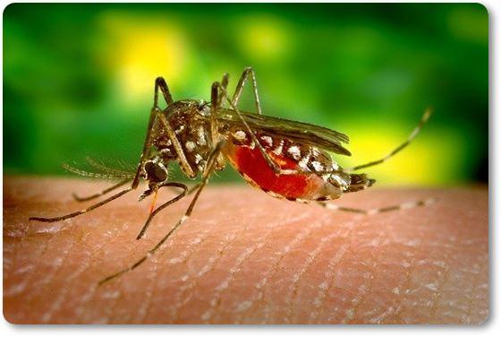 mosquito succionando sangre