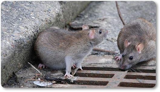 rata gris de alcantarilla