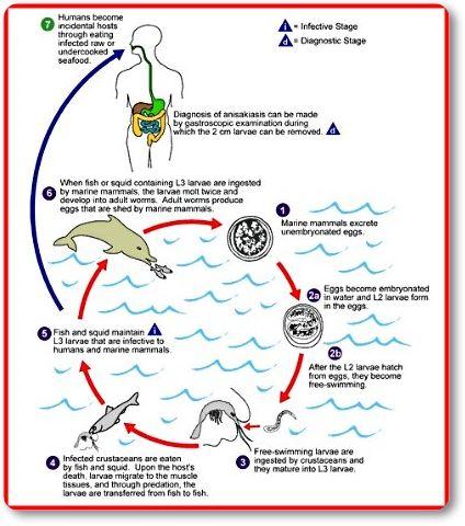 Ciclo biológico del anisakis