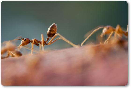 hormigas de jardín