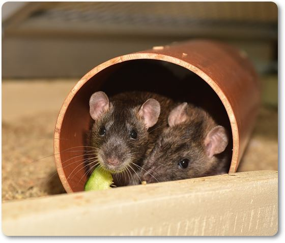 dos ratas escondidas