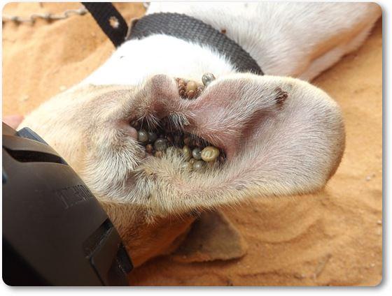 Perro con garrapatas en la oreja