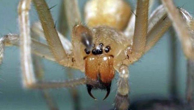 Araña de saco amarillo en Murcia