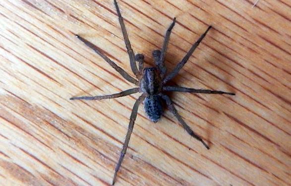 Araña vagabunda en Murcia
