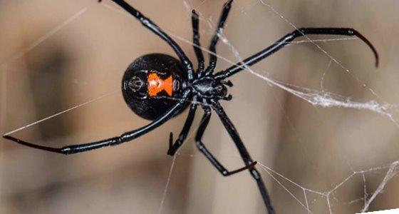 Araña viuda negra en Murcia